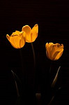 Glowing Tulips