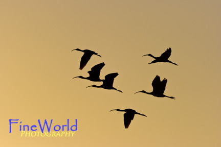 Ibis in Flight at Sundown